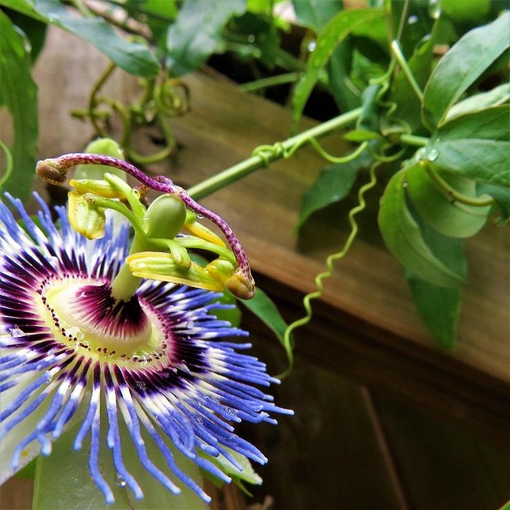 パッションフラワー Passionflower